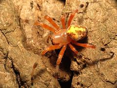 Marbled Orbweaver (treegrow) Tags: nature insect washingtondc spider rockcreekpark arthropoda arachnida araneae araneidae lifeonearth raynoxdcr250 araneusmarmoreus canonspeedlite430exii taxonomy:binomial=araneusmarmoreus canonpowershotsx40hs