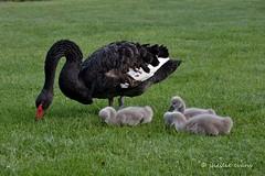 Black Swan Family, Anderson Park, Napier (flyingkiwigirl) Tags: park black bay swan anderson signet napier hawkes