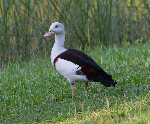 Rajah Shelduck (Burdekin Duck) (Tadorna radjah)