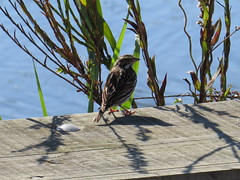 Savannah Sparrow - Texas by SpeedyJR (SpeedyJR) Tags: nature birds texas wildlife sparrows nationalwildliferefuge nwr savannahsparrow anahuacnationalwildliferefuge anahuacnwr chamberscountytexas speedyjr ©2015janicerodriguez