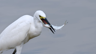 Little egret with big catch