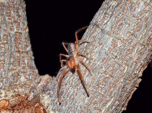 Camel spider( solifuge)