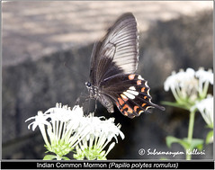 Common Mormon(Stichius form) (Wandering_one) Tags: macro closeup butterfly insect wildlife butterflies insects mimicry flyinginsect papilionidae insectindia butterfliesofindia butterfliesofasia lepidopreta butterfliesofandhrapredesh