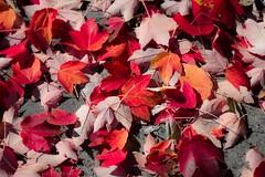 Fall Colors (Red) (AMaleki) Tags: california winter nature landscape fallcolors alpine sierranevada frogtown angelscamp 2015 nikond600
