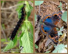 Metamorfose - Junonia evarete (Marquinhos Aventureiro) Tags: brazil brasil butterfly wildlife natureza caterpillar vida borboleta floresta lagarta metamorphosis metamorfose metamorphose selvagem junonia evarete hx400