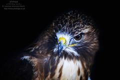 Hawk (photoga photography) Tags: england nature canon wildlife ngc raptors birdsofprey birdsgallery animalkingdomelite photogaphotography