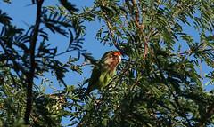 cLOSE eNCOUNTERS oF tHE bIRD kIND 45 (wNG555) Tags: arizona phoenix parrot olympus 2015 rosyfacedlovebird olympusomzuiko50mmf18