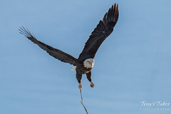 Bald Eagle launches, snaps off branch - Sequence - 3 of 13