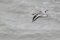 _HNS6669 Drieteenstrandloper : Becasseau sanderling : Calidris alba : Sanderling : Sanderling