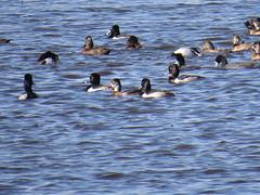Ring-necked Ducks - Texas by SpeedyJR (SpeedyJR) Tags: nature birds texas wildlife ducks ringneckedduck nwr anahuacnationalwildliferefuge anahuacnwr nationalwildliferefuges chamberscountytexas speedyjr ©2015janicerodriguez