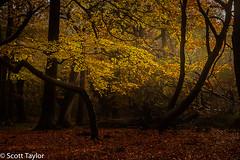 Golden Leaves (Scrufftie) Tags: woodland formatthitechcircularpolariser gitzotripod formatthitech woods burnhambeeches canonef24105mmf4lisusm canon landscape photoshopcc canon5dsr buckinghamshire chilterns