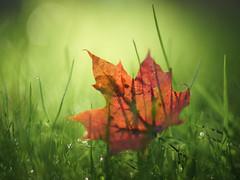 Maple leaf (Helena Normark) Tags: mapleleaf fallleaves fall autumn fallcolors trondheim srtrndelag norway norge sonyalpha7ii a7ii voigtlnder cv5015 nokton5015 nokton50mmf15