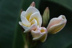 Frangipani (darmaimd) Tags: eosm3 flower frangipani bali canon mirrorless
