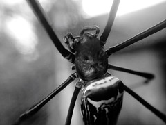 One Animal Animal Themes Animals In The Wild Wildlife Focus On Foreground Full Length Selective Focus Animal Head  Zoology No People Spider Spider Web Macro Close-up Close Up Black And White (tofikkhu) Tags: oneanimal animalthemes animalsinthewild wildlife focusonforeground fulllength selectivefocus animalhead zoology nopeople spider spiderweb macro closeup blackandwhite