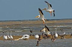 American White Pelicans, Black Skimmers, Brown Pelicans, Great Egrets (1krispy1) Tags: egrets terns skimmer pelicans americanwhtiepelican brownpelican greategret texasbirds blackskimmers