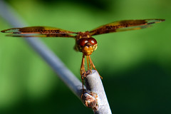 'So.... how are you doing?...' (all one thing (perpetually behind ... :}) Tags: easternamberwingdragonfly dragonfly hww wingwednesday wings sohowareyoudoing insect perithemistenera femaleeasternamberwingdragonfly amberwing odonata