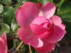 Weekend Rose :-) (Gartenzauber) Tags: rose pink natur garten sony thegalaxy rosesforeveryone floralfantasy doublefantasy masterphotos