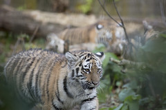 Amur Tiger Cub (Korkeasaaren elintarha) Tags: korkeasaarenelintarha elintarha korkeasaari hgholmensdjurgrd djurgrd helsinkizoo hgholmen zoo animals zooanimals amurtiger amurtigercub pantheratigrisaltaica amurintiikeri