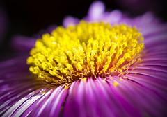 Aster in light (Konstantin Bibikov) Tags: aster flower purple yellow macro closeup nature garden flora plant beautiful light