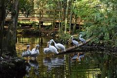 pelicans in the park (tennie2) Tags: homosassaspringsstatewildlifepark topazdenoise topazdetail