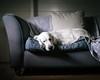 (sue.h) Tags: mickey mickmick goldenretriever sleeping dog sunday artlibre littledoglaughednoiret