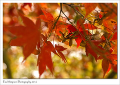 Red Acer (Paul Simpson Photography) Tags: naturalworld nature sonya77 sonyphotography acer acertree autumn autumncolour fall fallcolor imageof imagesof paulsimpsonphotography photosof plantlife twigs tree leaves leaf redleaves october2016