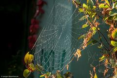 Spinnennetz im Morgentau (J.Weyerhuser) Tags: rheinufer spinnennetz herbst morgentau sonne
