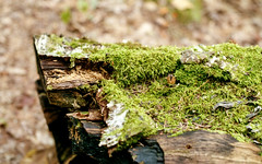 Moss on the Log (Bill Smith1) Tags: asahipentaxkx believeinfilm billsmithsphotography fall2016 heyfsc jacksonlake lomo400c41 muskoka smcpentaxm50f14lenslens filmshooterscollective