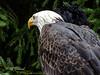 Ein Gigant der Lüfte (Fotoamsel) Tags: natur tiere vögel weiskopfseeadler wildparklüneburgerheide