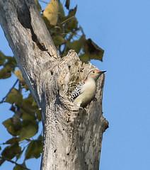 Red-Bellied Woodpecker (swmartz) Tags: nikon nature newjersey outdoors birds woodpecker mercercounty trentonmarsh trenton
