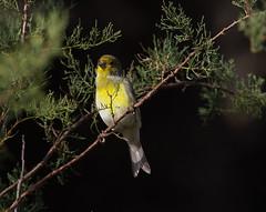 Atlantic Canary (roger_forster) Tags: atlanticcanary serinuscanaria portopim horta faial azores bird wild songbird