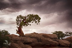 A lone juniper tree in rain storm (ELAITRAVEL) Tags: utah canyonland arches national park photography landscape nature