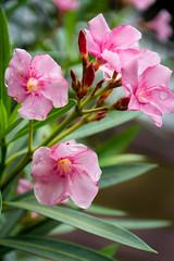 Rain soaked (malc1702) Tags: rainsoakedflowers pinkflowers oleanderflowers flowers garden nature beauty nikond7100 tamron150600 bokeh outdoor waterdroplets ngc