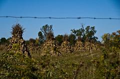Barbed Wire (ramseybuckeye) Tags: hardiin county ohio barbed wire corn shocks amish farm field pentax art life