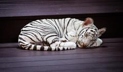 Sleepy cat (Aresio) Tags: chiangmai nightsafari thailand animal tiger white nature