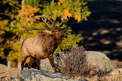 The Challenge (craig goettsch) Tags: elk bull rockymountainnationalpark mamman animal nature wildlife autumn fallcolors colorado nikon d500 sunrays5 ngc