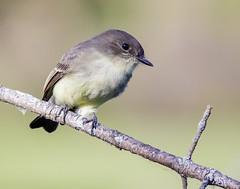Eastern Phoebe (shooter1229) Tags: avian wetlands bird20iocreplaceoldbirdlist nature bird easternphoebe heronpark outdoors animal sayornisphoebe tyrannidae