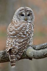 Barred owl (Strix varia) (vladimirmorozov) Tags: barred owl strixvaria