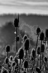 Cobweb and teasels (Mark Heine Photos) Tags: cirrus wilsonflats clouds sunrise tree morning spiderweb canada grandriver ontario markheine elora teasels cobweb field westmontrose ca