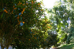 Fragrant Olive in the Green (nak.viognier) Tags: fragrantolive green ryokuchipark osaka  olympusepl3 lumixgfisheye8mmf35