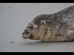seal puppy (amdolu - back again) Tags: seal puppy seehund heuler norderney strand nordhelm