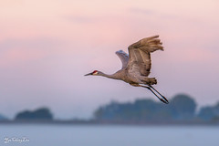 Sandhill crane flying over morning mist (FollowingNature) Tags: sandhillcrane flying morningmist sunrise lodi ca bif