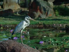 5:41 PM Grey Heron Hunting for Fish in a Water Lily Pond (Robert-Ang) Tags: greyheron hunting pond lotuspond heron bird animal japanesegarden singapore wildlife nature