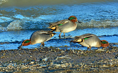 Teal at Draycote Water (robmcrorie) Tags: teal draycote water duck severn trent reservoir warwickshire bird birding nature