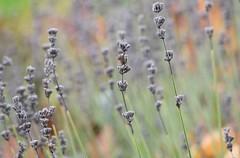 Lavender (careth@2012) Tags: lavender flower scene scenery landscape nature