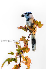 Blue Jay with acorn (bananaman33428) Tags: evergladesphotographicsociety birdwatcher bluejay markhampark e outr there