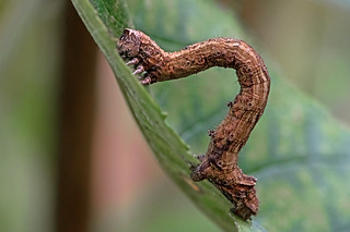 Odontopera bidentata - the Scalloped Hazel Moth larva
