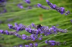 Bee on lavendar - Edmonds 7-5-16 (steve_scordino) Tags: