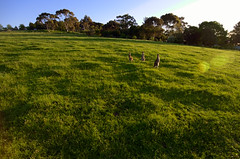 Grazing Kangaroos (gazrad) Tags: colour easterngrey fertile field green horizontal kangaroo lookingatcamera marsupiial nobody paddock pasture stand three wildlife