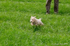 EVI (Sonja Ooms) Tags: toy poodle apricot dog puppy